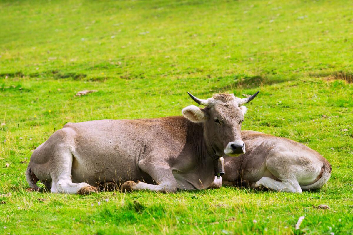 Von der Kuh zur Milch